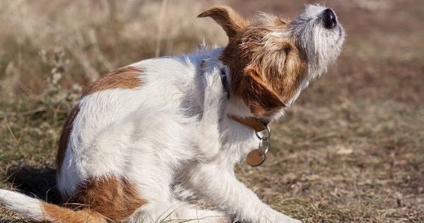 dog itching