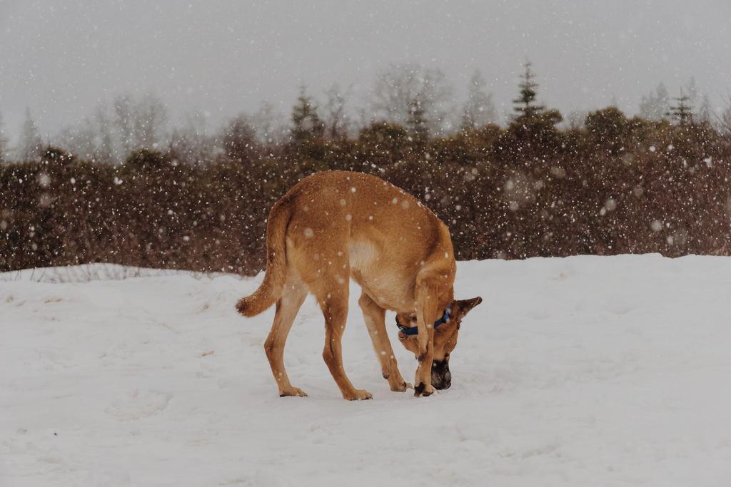 Chien dans la neige reniflant une odeur