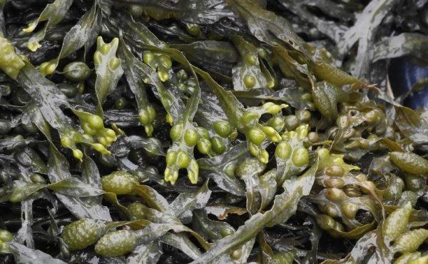 Zoopharmafrance Algues Varech 1