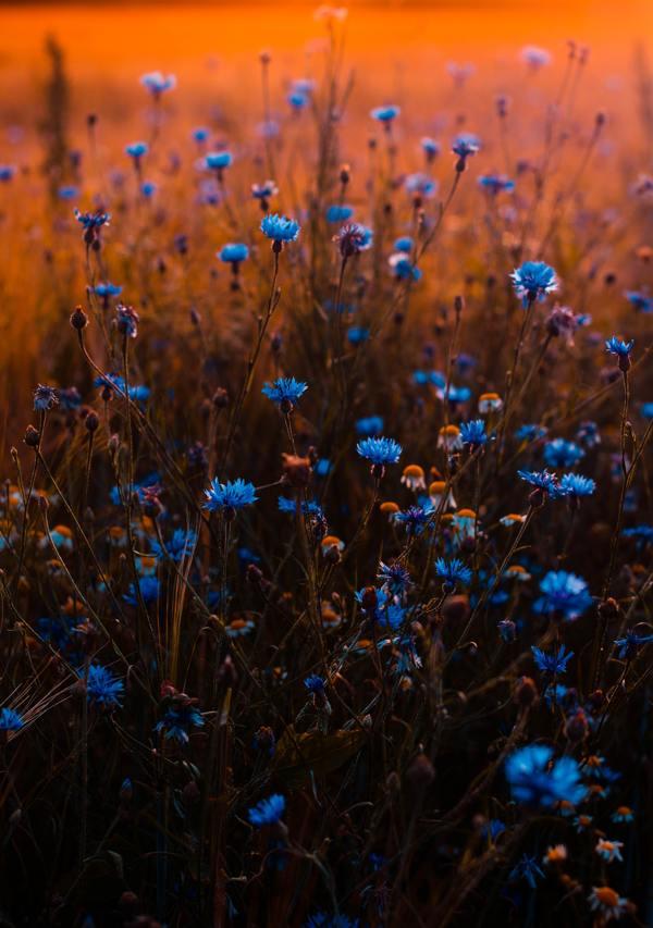 Zoopharmafrance Bleuet Eauflorale 1