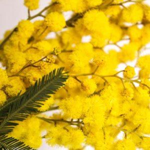 Zoopharmafrance Mimosa 1