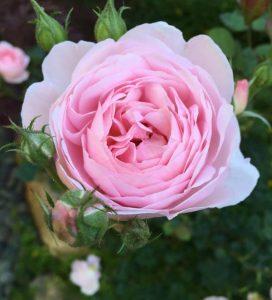 Zoopharmafrance Rose Eauflorale 1