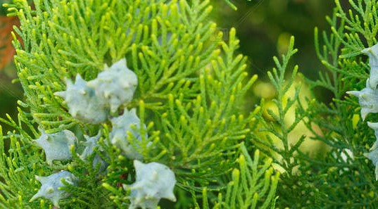 Thuja Occidentalis With Cones On The Branches